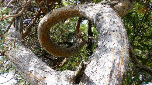 arbre-tordu-vortex